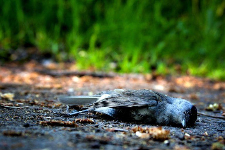 Áramszolgáltatók miatt hullanak százasával a  veszélyeztetett madaraink
