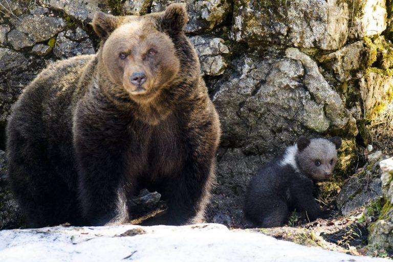 Ismét medvéket láttak Nógrád megyében