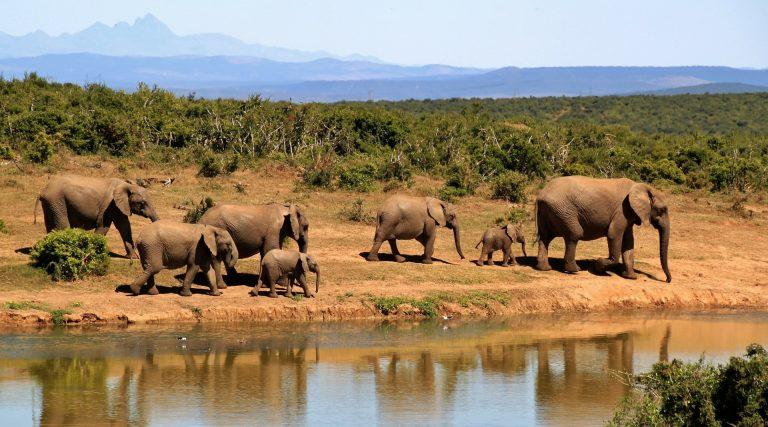 Több tízezer elefánt eshet áldozatul egy afrikai olajmezőnek