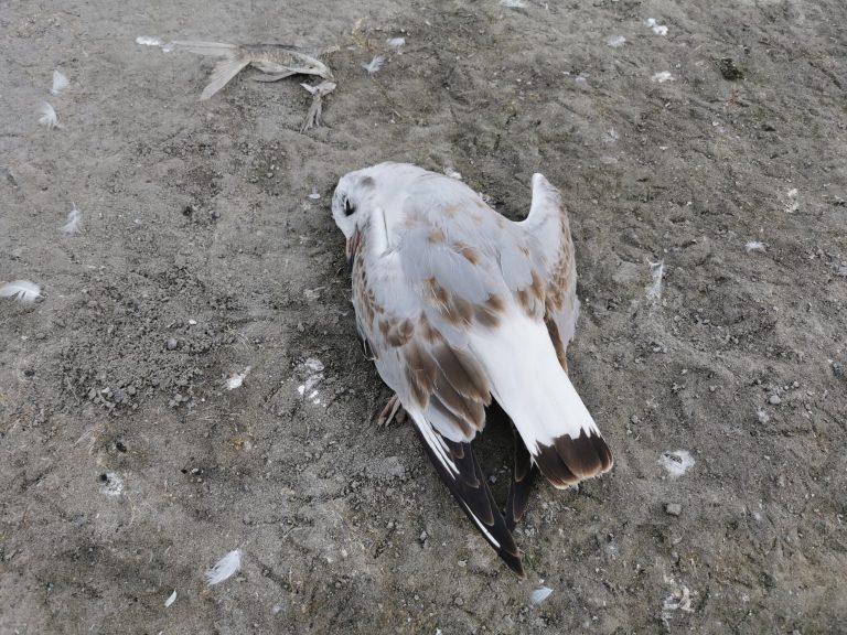 Már nem csak a halak, hanem a madarak is nagyszámban pusztulnak a Velencei-tónál