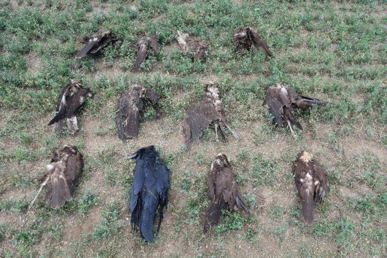 Feljelentést tesz a turai madármérgezés ügyében az LMP társelnöke